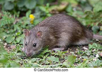 Wild Brown Rat eating seeds, and grain