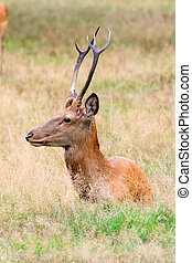 Wild buck side
