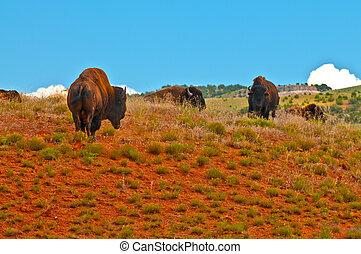 Wild Buffalo - Buffalo roaming on the red dirt prairie in...