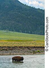Wild Buffalo crossing a river