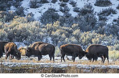 Wild Buffalo in winter - Yellowstone National Park