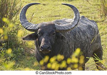 Wild Bull Asiatic Buffalo - Large male Asiatic Buffalo in...