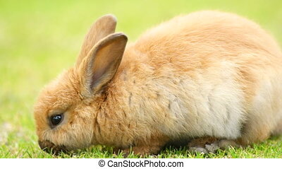 Wild Bunny Rabbit Grazing Grass Valdez Alaska Animal Wildlife