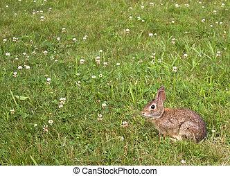 Wild Bunny Rabbit - A wild bunny rabbit grazing in the grass...