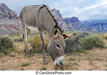 Wild burro - A wild burro in the Nevada desert