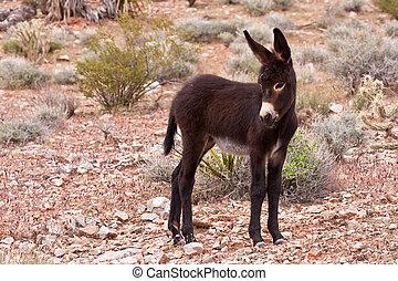 Burro Donkey Foal in Nevada Desert - Wild Burro Donkey Foal...