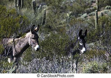 Wild burros in the Sonoran Desert