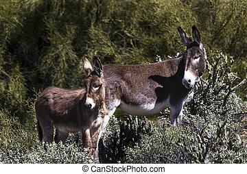 Wild burros in the Sonoran Desert near Phoenix, Arizona
