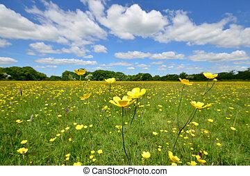 Wild Buttercups in English meadow