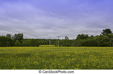 Wild Buttercups In Field With Sky