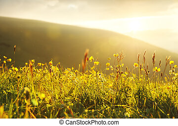 Wild buttercups in the setting yellow light