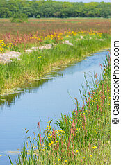 Wild yellow buttercups in nature landscape with ditch in Dutch Zwanenwater Callantsoog