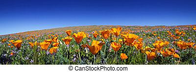 Wild California Poppies at Antelope Valley California Poppy...