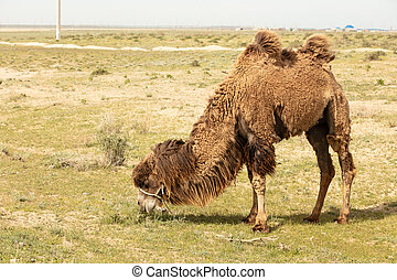 Wild camel standing to eat hay on a meadow .the most grueling animal in the world