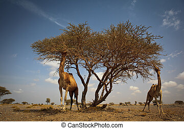 Wild camels feeding on acacia - Scene from a hot desert:...