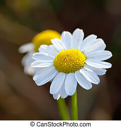 Close up of wild camomile white flowers