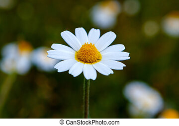 Wild camomile flowers growing on the meadow