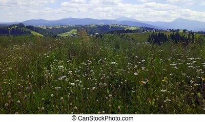 Wild camomiles fluttering on wind - Mountain meadow plants...