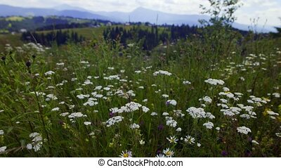 Wild camomiles fluttering on wind - Mountain meadow plants...