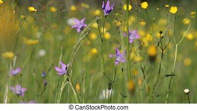 wild Campanula violet bell flower on meadow in spring breeze...