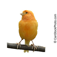 Wild Canary Isolated On White Background