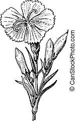 Wild Carnation or Dianthus caryophyllus, vintage engraving -...