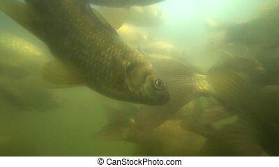Wild carp swimming under water