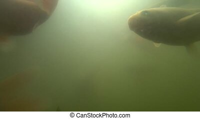 Wild carp swimming under water