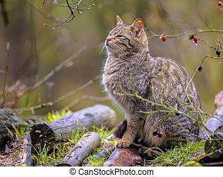 Wild cat in bush - European wild cat (Felis silvestris) ...