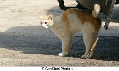 wild cat rubs against aiming the car, slow motion video -...
