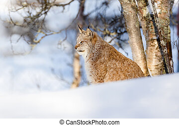 Wild cat sitting on snow by bare trees at park