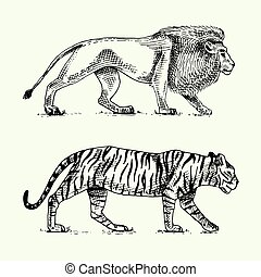 Wild cats set, lion and tiger engraved hand drawn in old sketch style, vintage animals