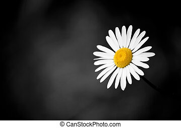 Wild chamomile flower against a background of green