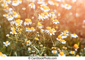 Wild chamomile flower on a sunny day