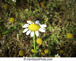 Wild Chamomile flower on meadow in spring.