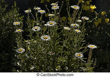 Wild chamomile flower or daisy plant on a meadow illuminated by sunlight