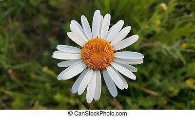Wild chamomile flower