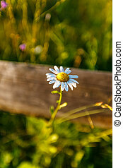 Wild chamomile flower through a wooden fence on a sunny day.