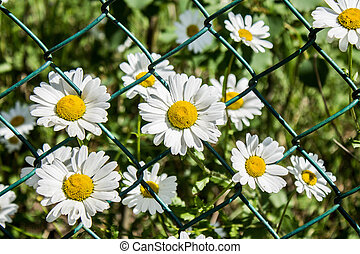 Wild chamomile flowers behind bars