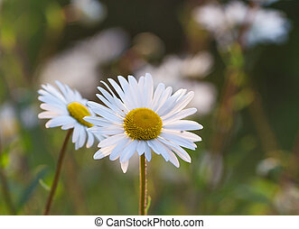Wild chamomile flowers on a field in sunny day.