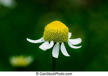 Wild chamomile flowers on a field on a sunny day. shallow depth of field,Chamomile field flowers border. Beautiful nature scene with blooming medical chamomilles in sun flare.spring concept