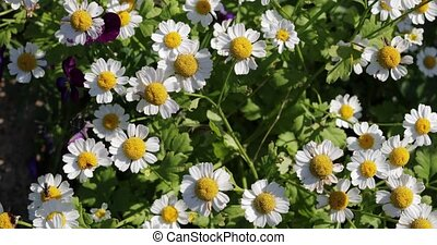 wild chamomile flowers top view.