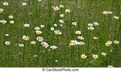 Wild Chamomile Growing in a Field. 1080p FullHD footage