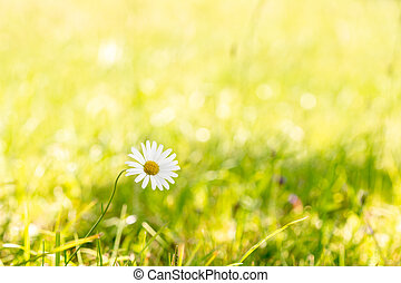 Wild chamomile in a summer meadow