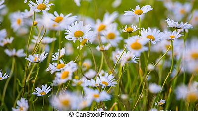 Wild chamomile swaying at the wind on field - Closeup of...