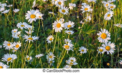 Wild chamomile swaying at the wind on field, tranquil...