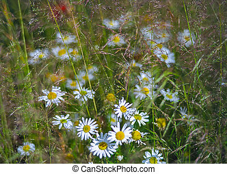 Wild chamomiles in a summer field. Different herbs,
