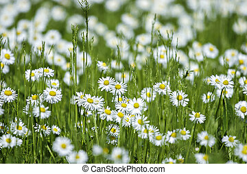 Wild chamomiles in a summer field. Flowers.