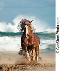 wild, chesnut, schetsen paard, rennende , door, de, zee
