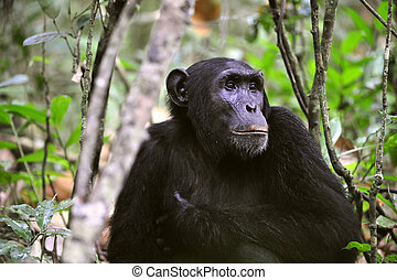 Wild Chimpanzee portrait - Wild Chimpanzee ( Pan troglodytes...